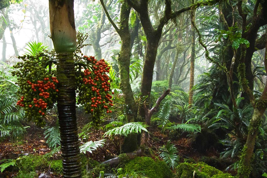 Mt Gower's mist forest