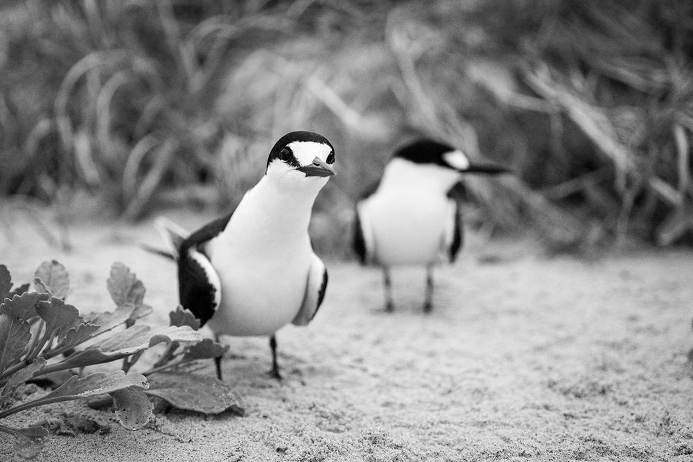 Curious Sooty Tern